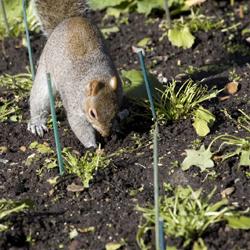squirreldigging_250x250